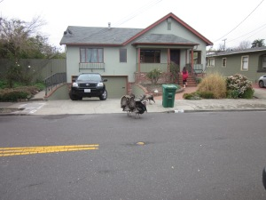 This is what you get when you go to Berkeley: wild turkeys.